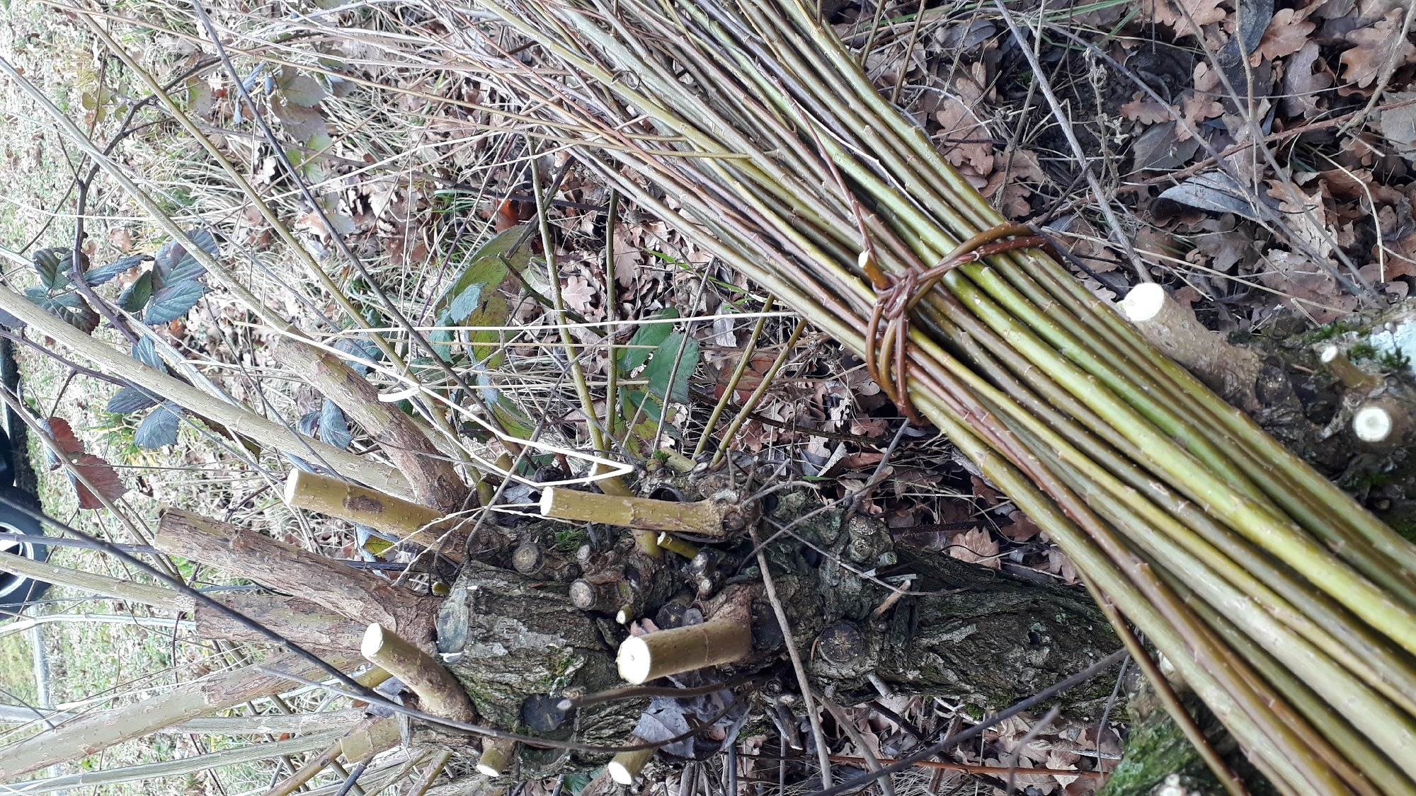 frisch geschnittene Weiden